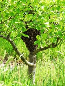 swarm-2704947_640